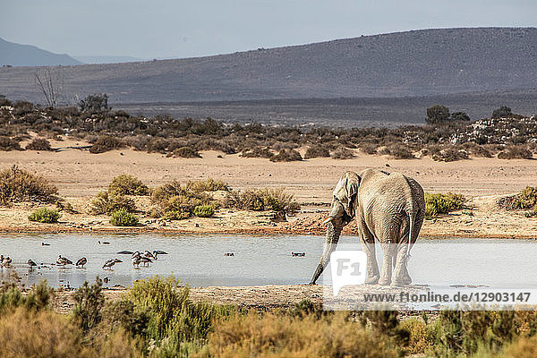 African elephant (Loxodonta) drinking in river  Touws River  Western Cape  South Africa