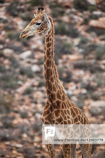 Giraffe (Giraffa camelopardalis)  Fluss Touws  Westkap  Südafrika