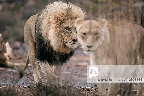 Pair of Lions (Panthera leo)  Touws River  Western Cape  South Africa