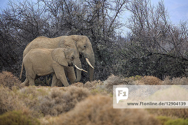 African elephant and calf  (Loxodonta)  Sutherland  Northern Cape  South Africa