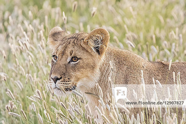 Botswana  Kgalagadi Transfrontier Park  young lion  Panthera leo