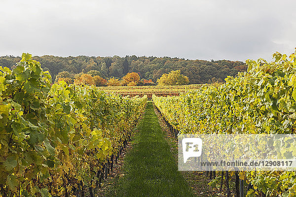Germany  Rhineland-Palatinate  vineyards in autumn colours  German Wine Route