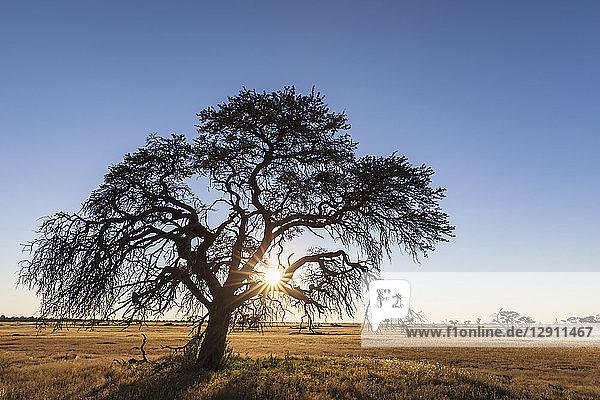 Botswana  Kgalagadi Transfrontier Park  Kalahari  camelthorn at sunrise
