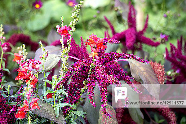 Amaranth plants