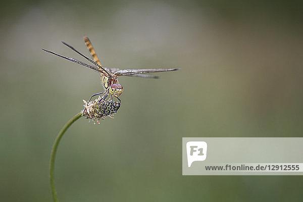 Common darter firefly  Sympetrum striolatum  hovering over flower