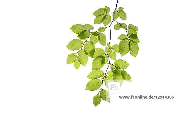 Branch of beech tree  Fagus sylvatica  white background