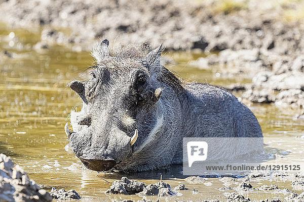 Botswana  Kalahari  Central Kalahari Game Reserve  Warthog  Phacochoerus africanus