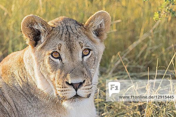 Botswana  Kgalagadi Transfrontier Park  Lioness  Panthera leo