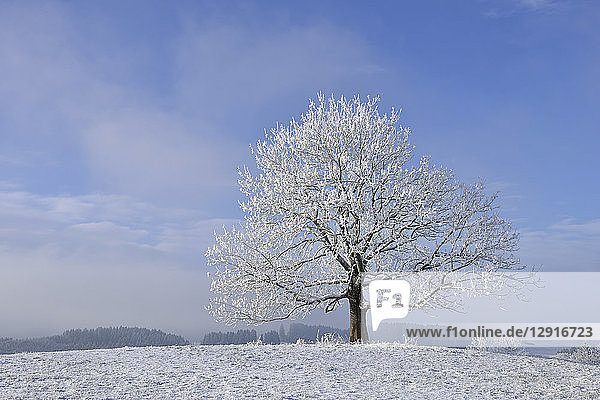 Germany  frost-covered tree in winter