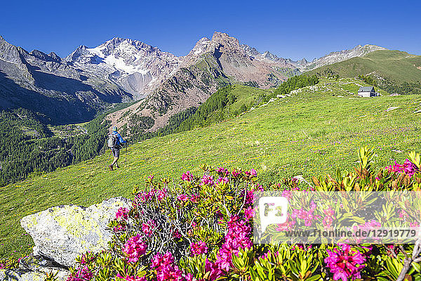 Hiker walkpast rhododendron flowers with Mount Disgrazia in the background  Scermendone  Valmasino  Valtellina  Lombardy  Italy  Europe