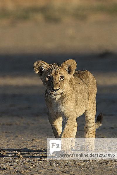 Lion (Panthera leo) cub  Kgalagadi Transfrontier Park  South Africa  Africa
