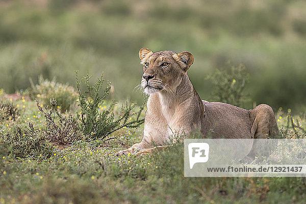 Lioness (Panthera leo) watching prey  Kgalagadi Transfrontier Park  South Africa  Africa