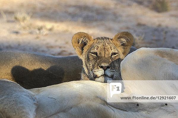 Young lion (Panthera leo)  Kgalagadi Transfrontier Park  South Africa  Africa