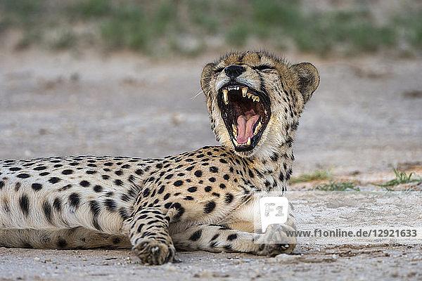 Cheetah (Acinonyx jubatus) yawning  Kgalagadi Transfrontier Park  South Africa  Africa