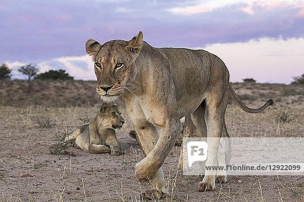 Lions (Panthera leo)  Kgalagadi Transfrontier Park  South Africa  Africa