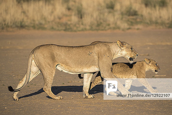 Lioness with cub (Panthera leo)  Kgalagadi Transfrontier Park  South Africa  Africa