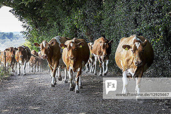 Herde von Guernsey-Kühen wird über eine Landstraße getrieben.