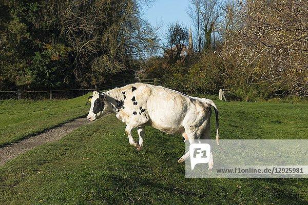 Dairy cow crossing a public path at Hemingford Grey  Cambridgeshire  England  UK.