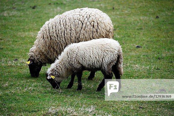 Lamb with mother on pasture  Parc Naturel Regional des Volcans d'Auvergne - Auvergne Volcanoes Natural Regional Park  Murol  Puy de Dome  Auvergne  Auvergne-Rhône-Alpes  France  Europe