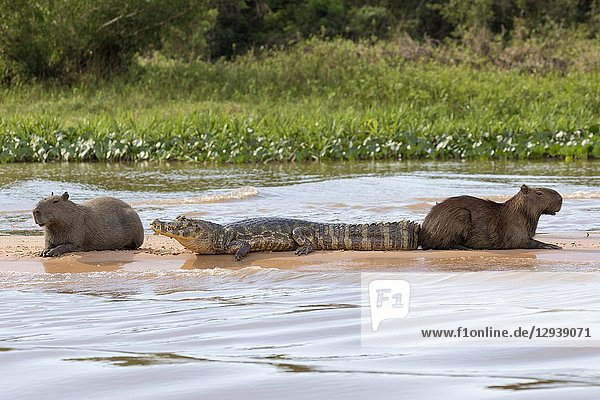 Capybara (Hydrochoerus hydrochaeris) two adults resting together with Yacare caiman (Caiman yacare) on sandbank at river  Pantanal  Mato Grosso  Brazil.