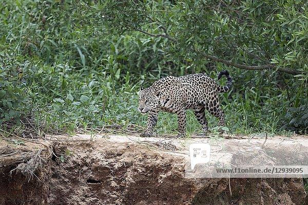 Jaguar (Panthera onca)  adult walking on riverbank  Pantanal  Mato Grosso  Brazil.