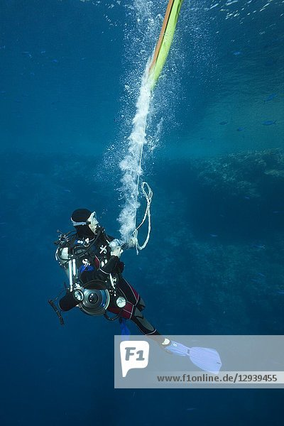 Scuba Diver inflates Surface marker Buoy  Brother Islands  Red Sea  Egypt.