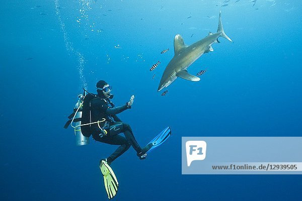 Scuba Diver and Oceanic Whitetip Shark  Carcharhinus longimanus  Brother Islands  Red Sea  Egypt.