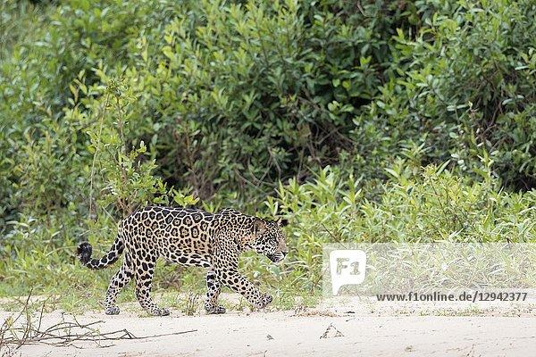 Jaguar (Panthera onca)  young walking on riverbank  Pantanal  Mato Grosso  Brazil.