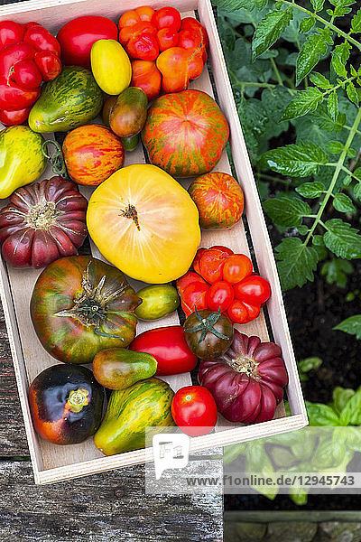 Verschiedene Heirloom Tomaten in Steige