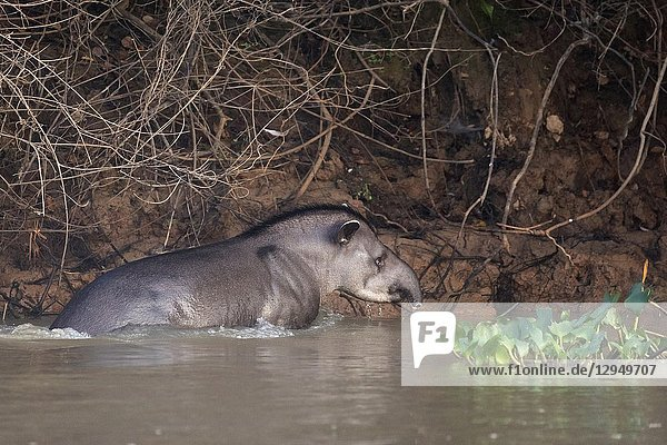 Brazilian tapir (Tapirus terrestris)  adult at riverbank  Pantanal  Mato Grosso  Brazil.
