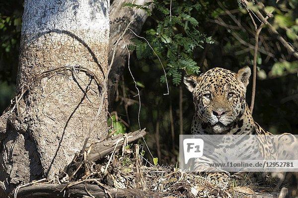 Jaguar (Panthera onca),  old male resting on riverbank,  Pantanal,  Mato Grosso,  Brazil.