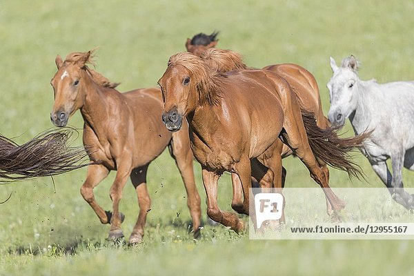 China  Inner Mongolia  Hebei Province  Zhangjiakou  Bashang Grassland  horses running in a group in the meadow.