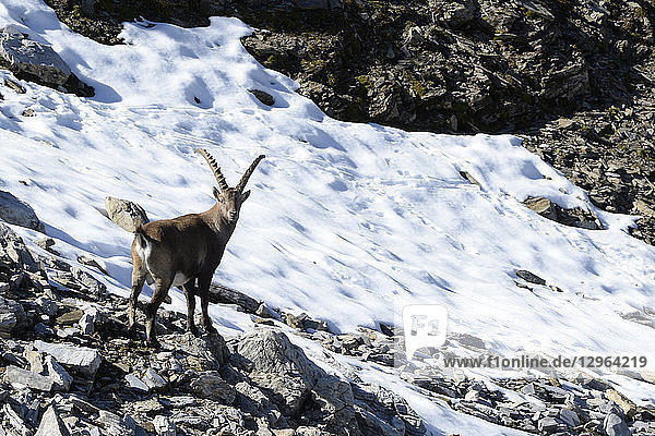 Austria  Tirol  Subaital  Tribulaun valley  a mountain goat or Ibex is looking towards the photographer nearby a snowy slope