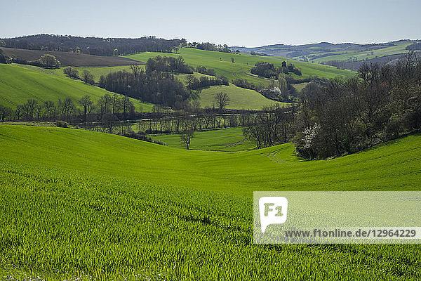 France  Occitanie  Lauragais  Haute Garonne  budding wheat at Spring