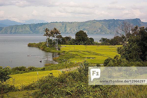Rice fields on the banks of Toba Volcanic Lake  Samosir Island  Sumatra  Indonesia