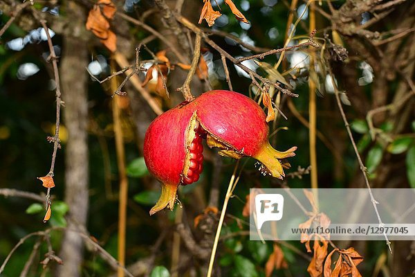 Pomegranate (Punica granatum) is a deciduous shrub native to Asia  from Iran to India. Is widely cultivated for its edible fruits.