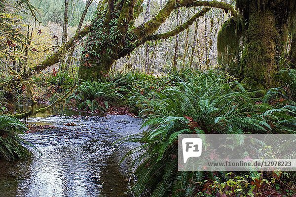 Maple Glade is a Old Growth forest trail in Olympic National Park  in Washington.