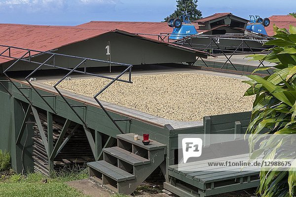 Kealakekua  Hawaii - Coffee beans drying before being roasted at Greenwell Farms  a major producer of Kona Coffee. The red roofs can be rolled over the drying tables if rain is expected.