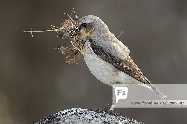 Northern Wheatear (Oenanthe oenanthe) carrying nesting material in its beak  perched on a rock.