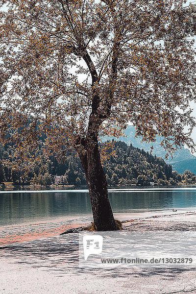 Herbstlicher Baum am Seeufer  Francenigo  Venetien  Italien