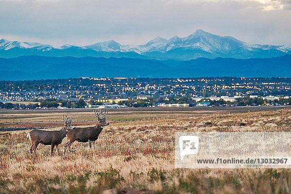 Deers on landscape  cityscape  Longs Peak  Rocky Mountains  Denver  Colorado  USA