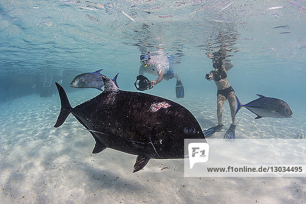Giant trevally (Caranx ignobilis)  with photographer at One Foot Island  Aitutaki  Cook Islands  South Pacific Islands