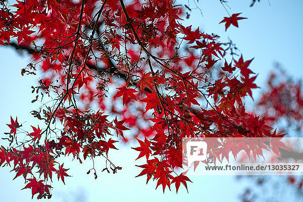 Red Japanese maple tree in autumn  Kyoto  Japan