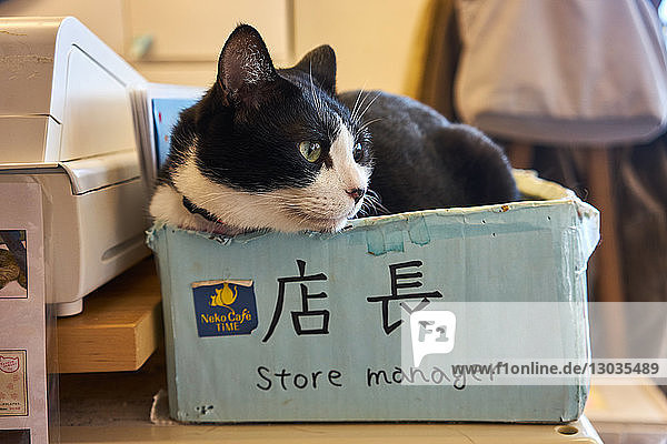 Cat sitting in a box in a Japanese cat cafe  Kyoto  Japan