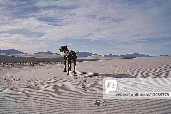 Hund steht in der Wüste vor bewölktem Himmel Hund steht in der Wüste vor bewölktem Himmel