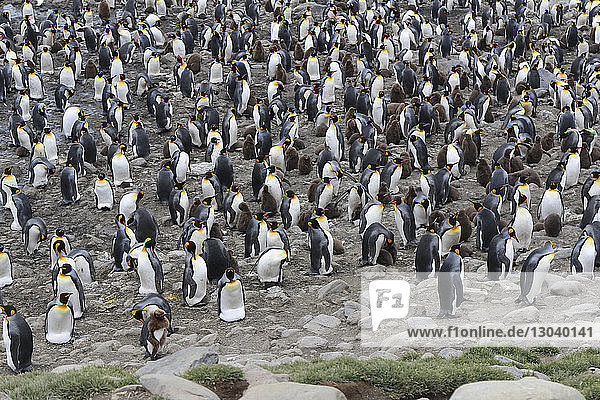 High angle view of colony of king penguins on land