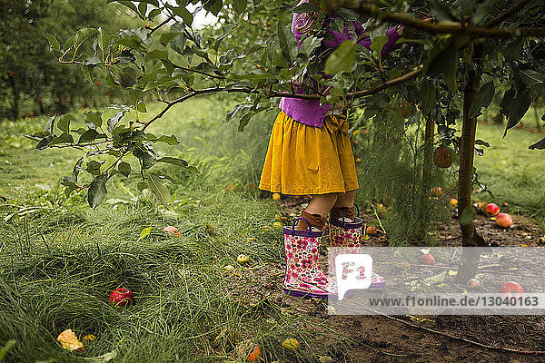 Low section girl picking apples in orchard