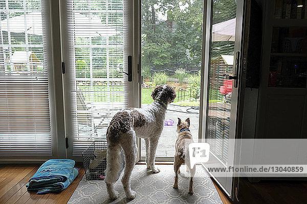Rückansicht von Hunden  die durch die Tür schauen  während sie zu Hause stehen