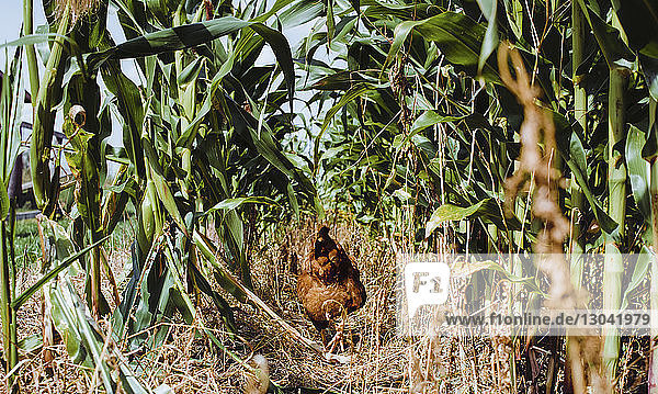 Rear view of hen walking on field amidst plants