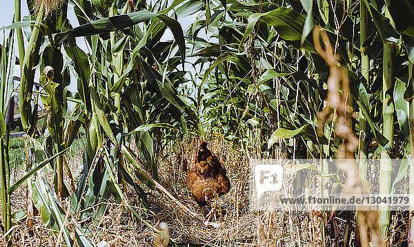 Rear view of hen walking on field amidst plants